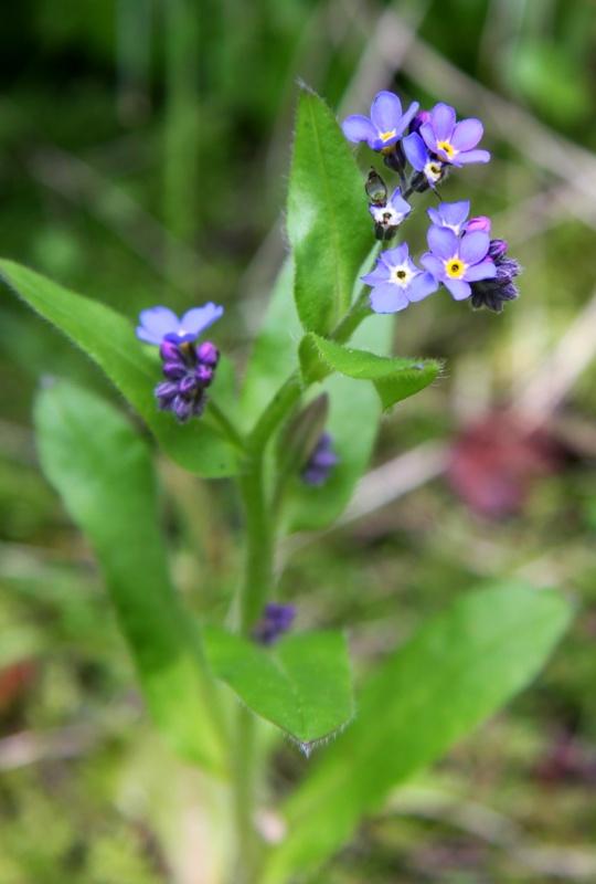 Flowering Blue   (1/3)