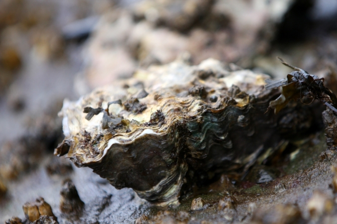 plump oyster by Terrill Welch 2013_02_01 246