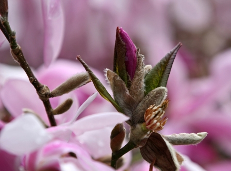 Deep in the Pink magnolia by Terrill Welch 2013_04_07 063