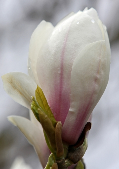 Plump Magnolia Petals by Terrill Welch 2013_04_07 087