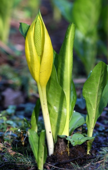 skunk cabbage early spring by Terrill Welch 2013_03_23 386