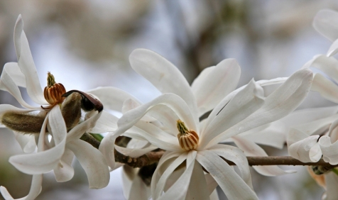 study in wihite star magnolia by Terrill Welch 2013_04_07 191