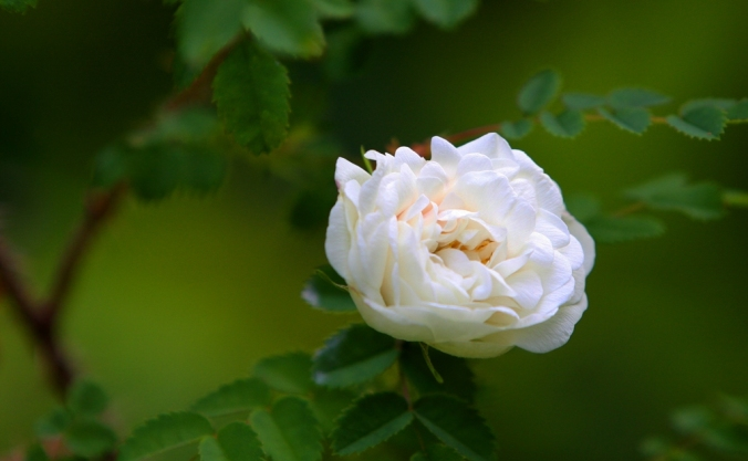 single  fragrant Scottish Brier Rose by Terrill Welch 2013_06_09 030
