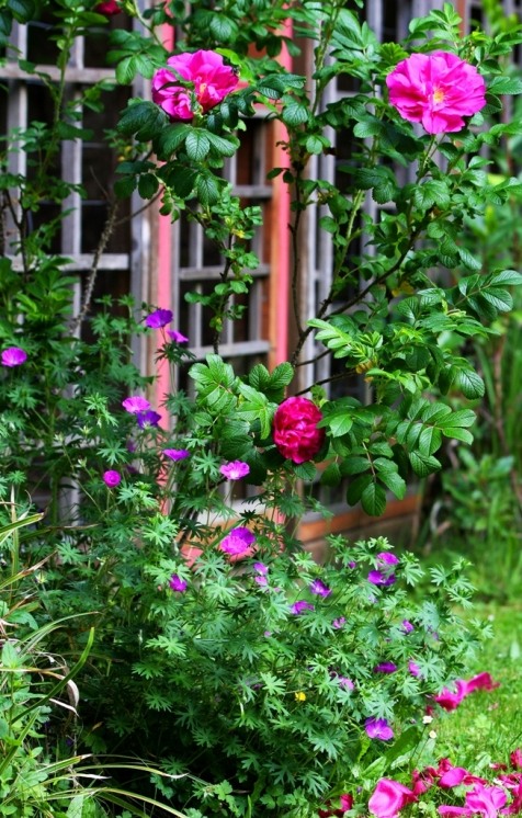 Sunday roses in June at la casa de inspiracion by Terrill Welch 2013_06_09 007