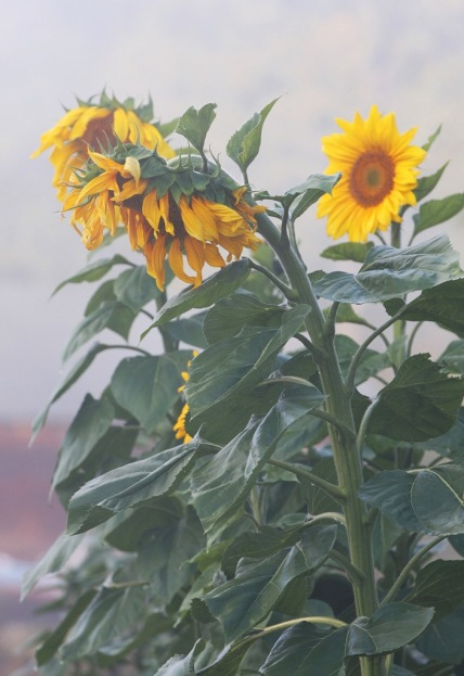 sunflowers in morning fog by Terrill Welch 2013_09_23 012