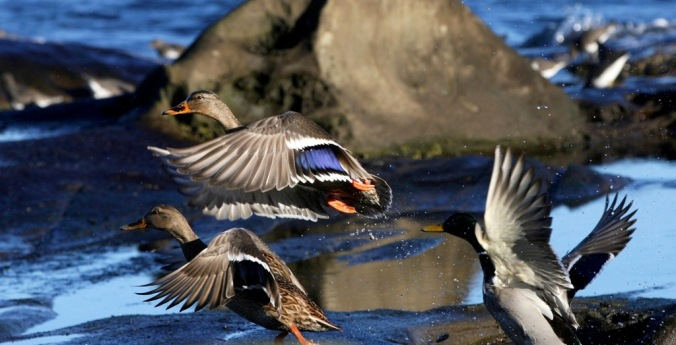 Mallard Surprise by Terrill Welch 2013_12_27 067