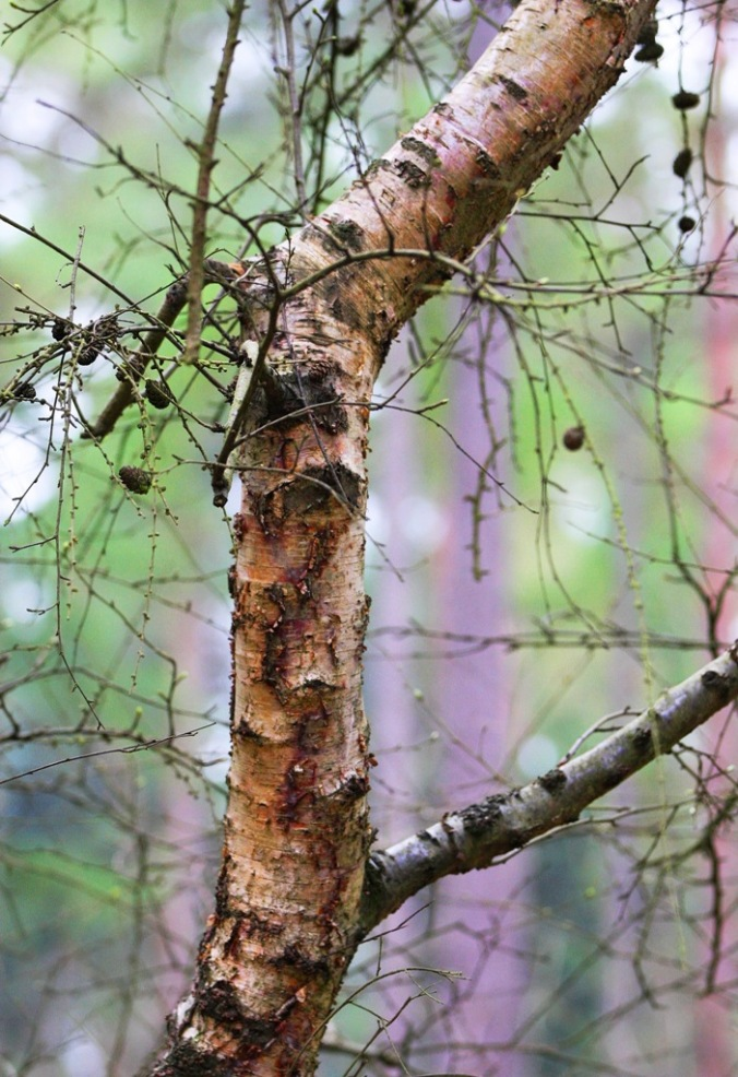 Birch in Black Park England by Terrill Welch 2014_04_04 009
