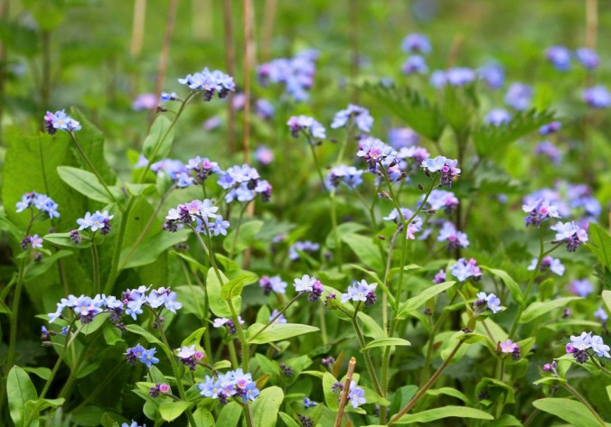 Forget-me-nots in Black Park by Terrill Welch 2014_04_04 063