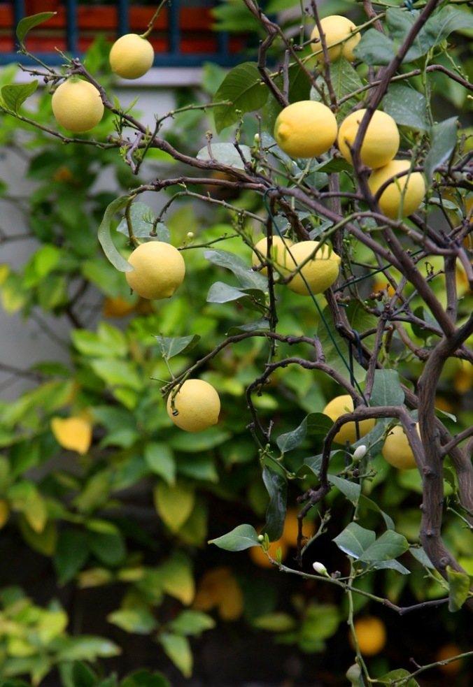 front yard full of lemons by Terrill Welch 2014_04_25 065