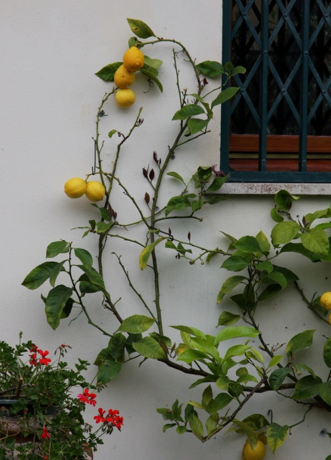 lemon tree by Terrill Welch 2014_04_25 067