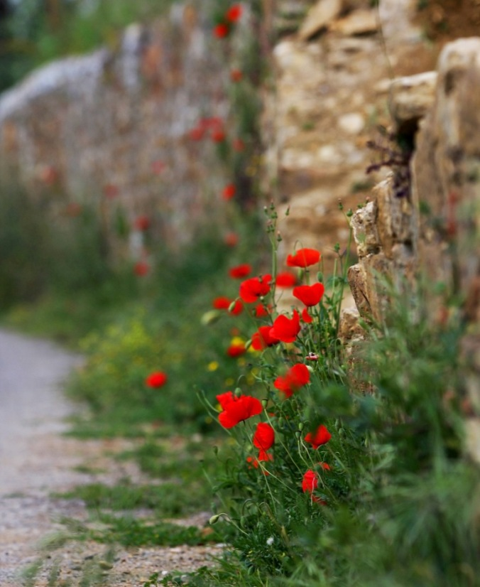 poppies by a stone wall in Florence Italy  by Terrill Welch 2014_04_24 077
