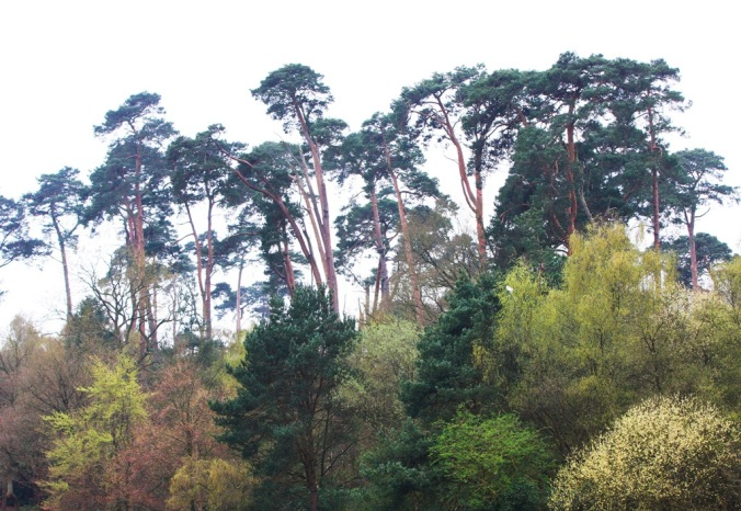 Tall Pines in Black Park England by Terrill Welch 2014_04_04 031
