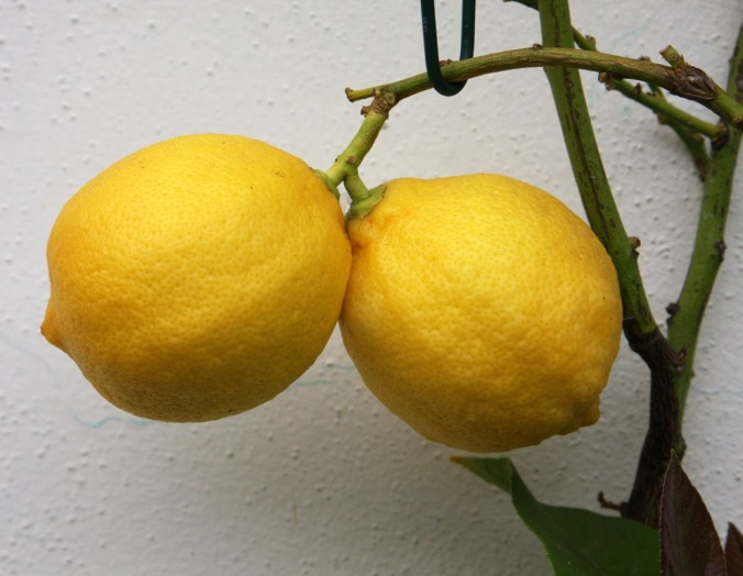 two lemons by Terrill Welch 2014_04_25 069