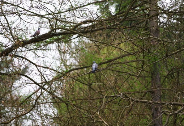 Wood Pigeons Black Park by Terrill Welch 2014_04_04 004