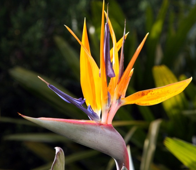 Bird of Paradise in Rapallo Italy by Terrill Welch 2014_05_08 007