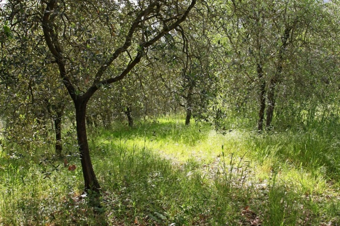 sun in olive tree grove  by Terrill Welch 2014_05_01 153