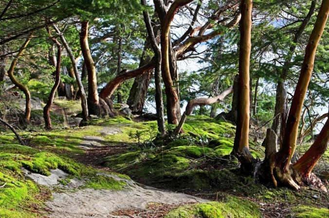 Mayne Island Christmas Arbutus Tree visit 1 by Terrill Welch 2014_12_25 006