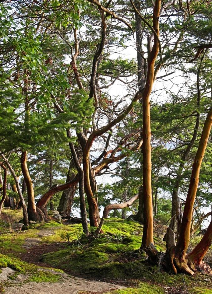Mayne Island Christmas Arbutus Tree visit 2 by Terrill Welch 2014_12_25 010
