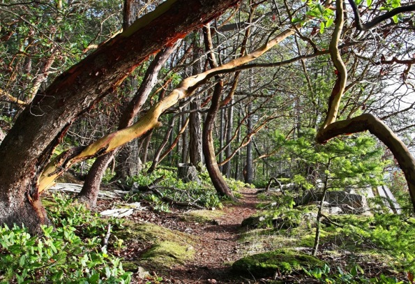 Mayne Island Christmas Arbutus Tree visit 4 by Terrill Welch 2014_12_25 029