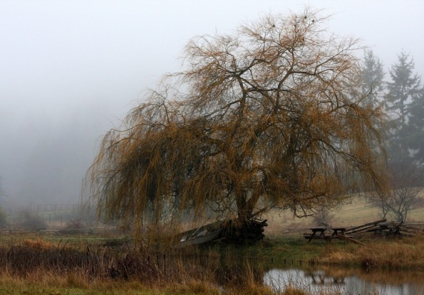 Mayne Island willow tree in fog by Terrill Welch 2015_01_07 009