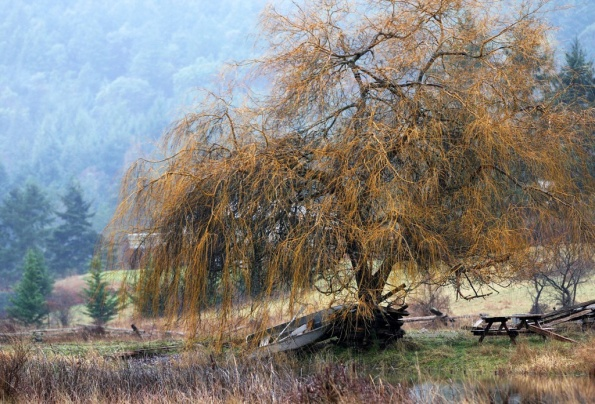 Mayne Island winter rain by the willow tree by Terrill Welch 2015_01_05 074