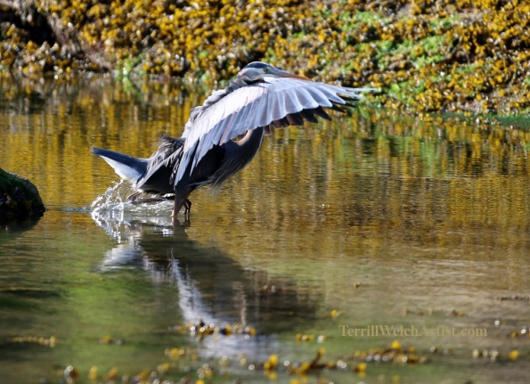 Blue Heron seriously looking for breakfast Reef Bay Mayne Island by Terrill Welch 2015_05_02 201