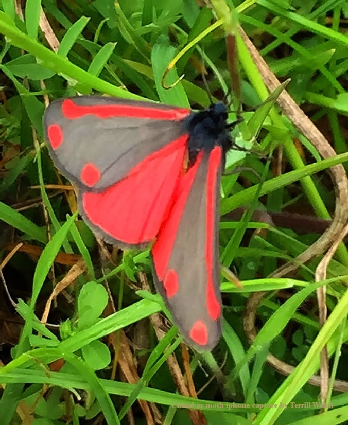 Cinnabar moth by Terrill Welch iPhone