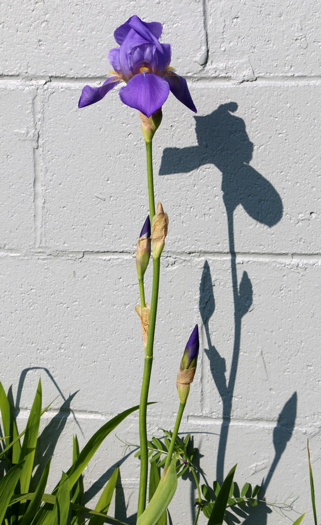 first iris standing tall and alone by the wall by Terrill Welch 2015_05_12 004