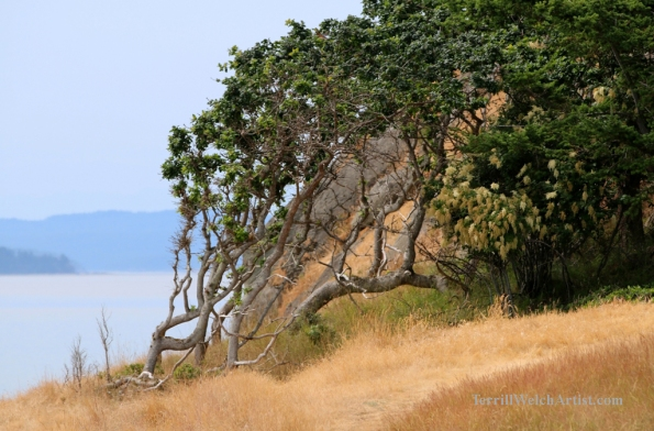 wind swept Garry Oak and Ocean Spray by Terrill Welch 2015_06_23 007