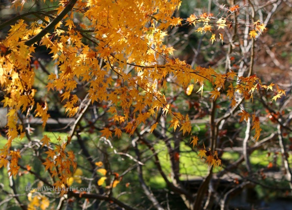 Last of the fall colour in the Japanese Garden on Mayne Island by Terrill Welch 2015_11_26 020