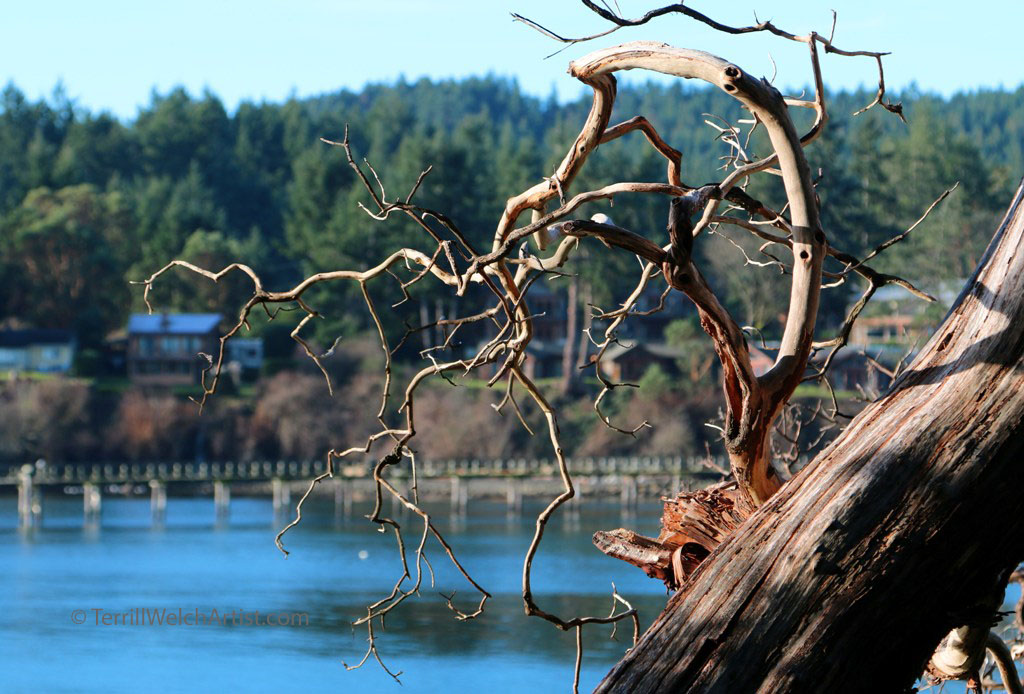 Bennett Bay Arbutus snag by Terrill Welch IMG_8386