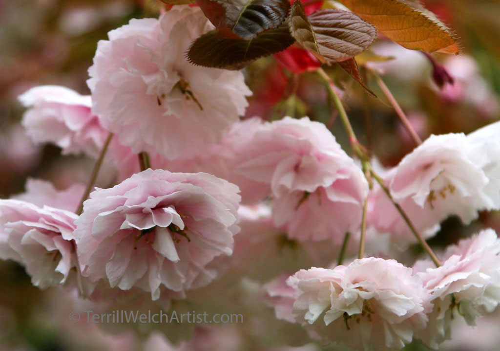 Cherry Blossoms by Terrill Welch IMG_2400