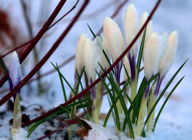 crocuses dusted with late snowfall Charlottetown PEI by Terrill Welch IMG_3102