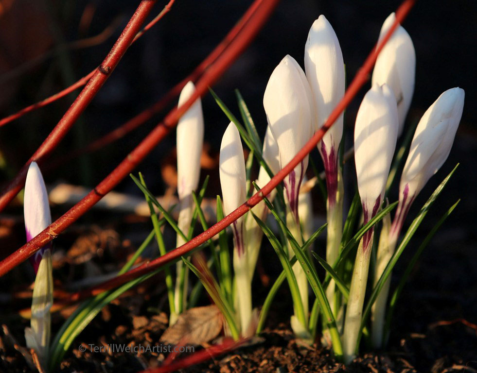 Crocuses morning sun by Terrill Welch IMG_3026