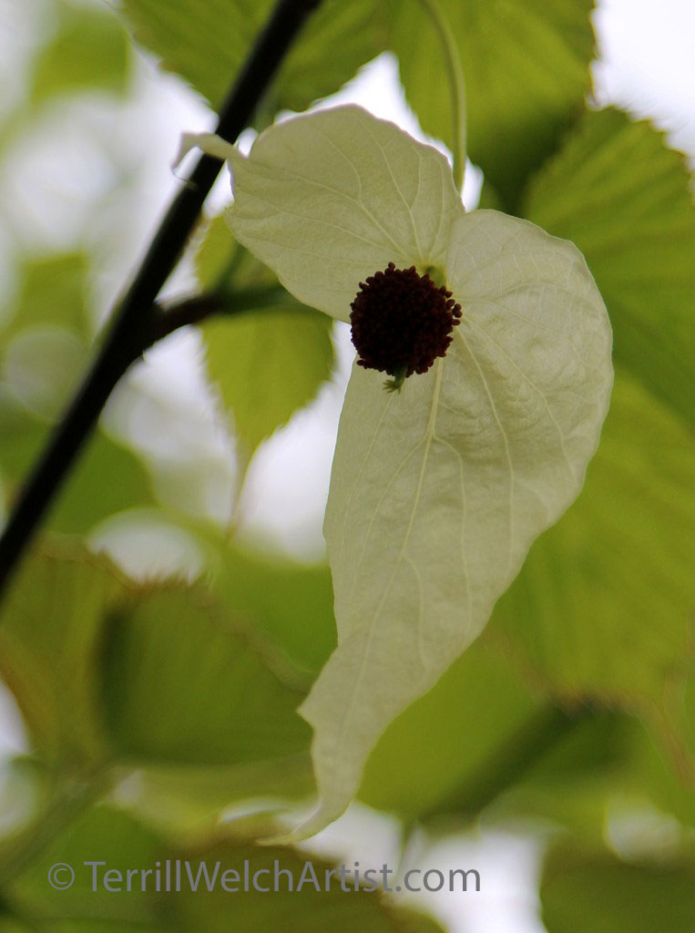 Dove Tree blossom from China by Terrill Welch IMG_2343