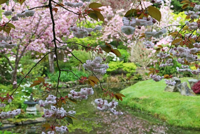 Japanese Garden Cherry Blossoms Mayne Island by Terrill Welch IMG_2247