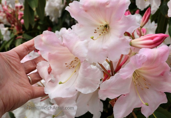 Rhododendron blossoms by Terrill Welch IMG_2284