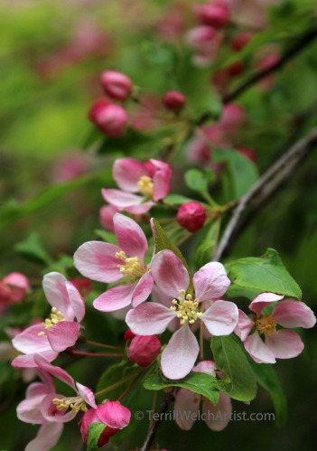 weeping crabapple blossoms by Terrill Welch IMG_2350