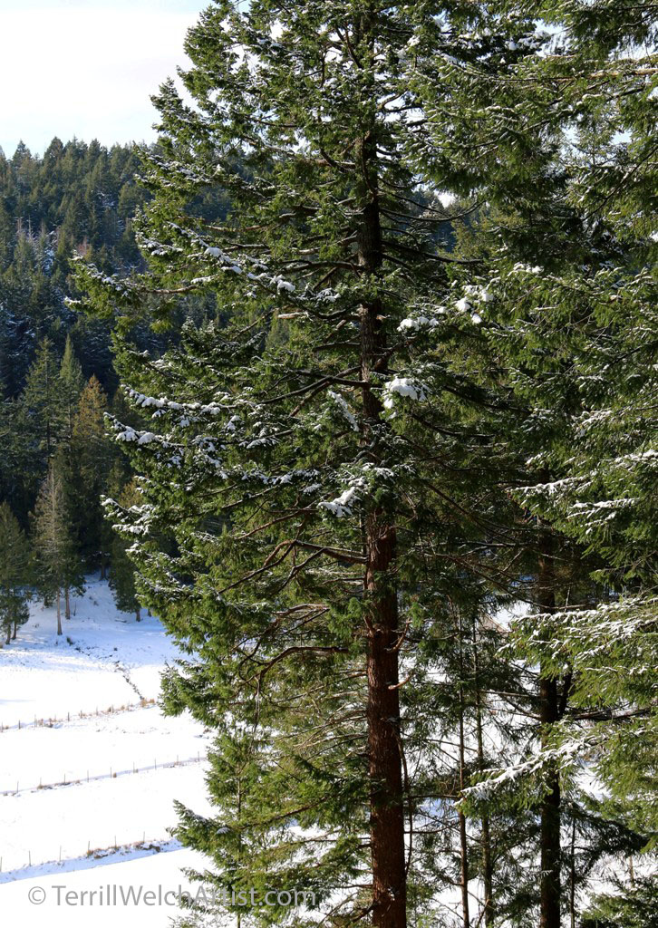 tall-firs-in-morning-sun-after-snow-by-terrill-welch-img_9868