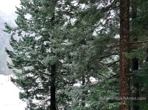 tall-firs-outside-my-window-by-terrill-welch-iphone-capture-feb-5-2017