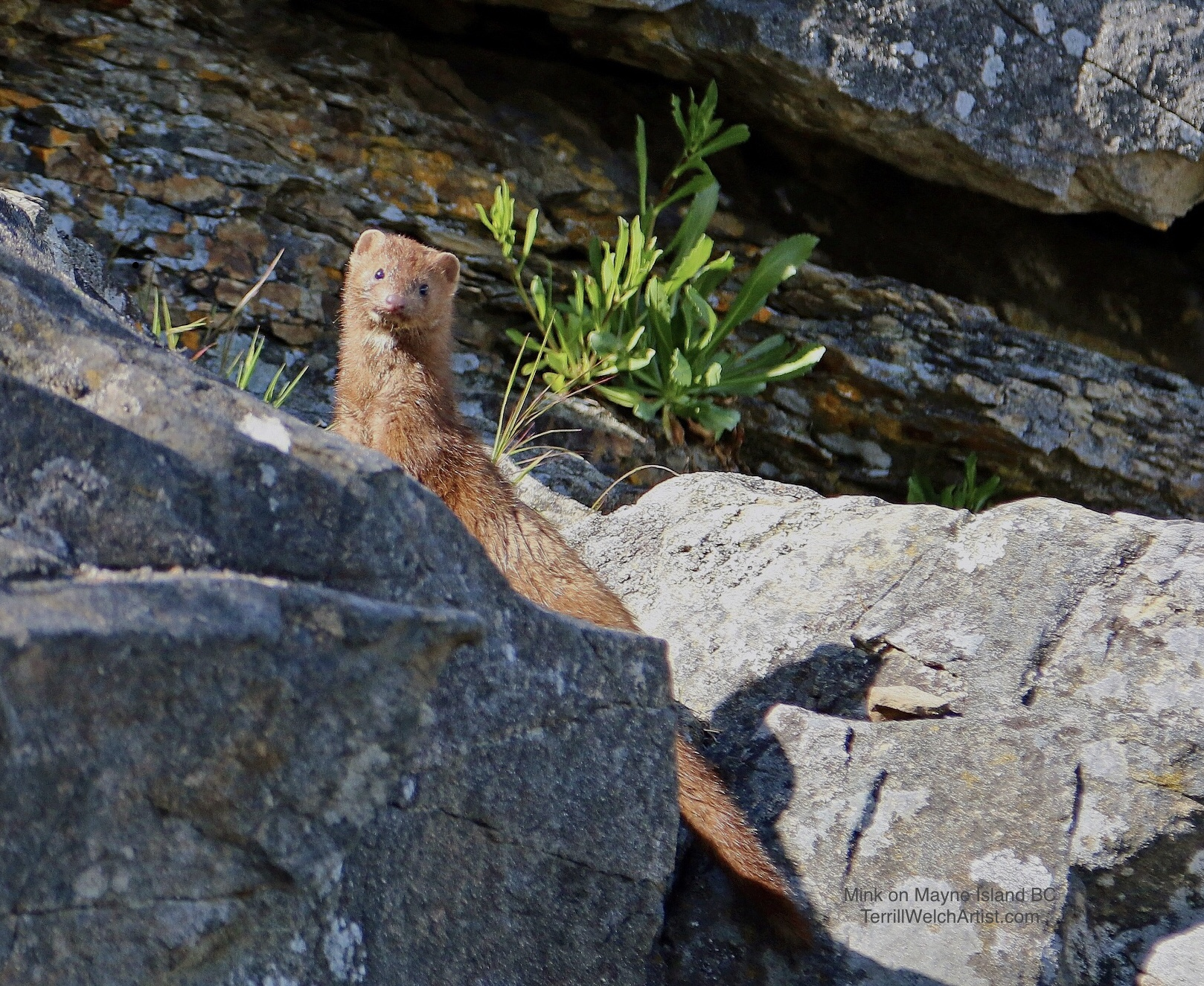 American Mink coming up between the sandstone rocks at Saint John Point on Mayne Island in British Columbia Canada.